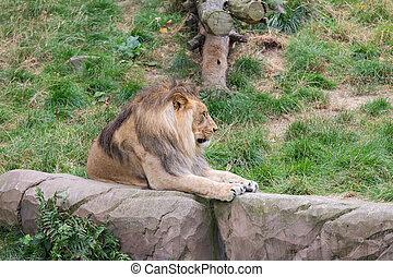 belgie, antwerpen, dierentuin, leeuw, afrikaan