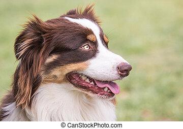 belgique, berger, australien, chien, vivant