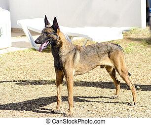 belgischer schäferhund, hund, (malinois)