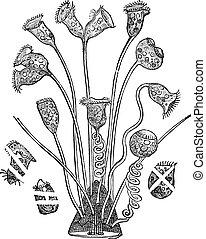 Bell Animalcule or Vorticella sp., vintage engraving - Bell...