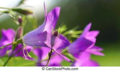 Bell flowers in summer
