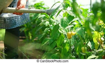 Bell Pepper Growing in a Garden - Gardener watering bell...