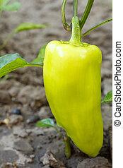 Bell pepper growing on bush in the garden.
