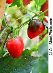 Bell pepper on the tree