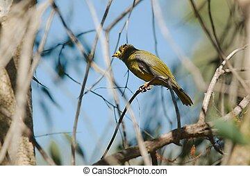 bellbird, em, a, árvores
