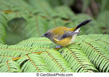 Bellbird (Korimako) on silver fern leaf. It is a passerine bird endemic to New Zealand.