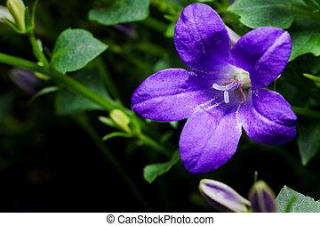 Bellflower (Campanula) - Close up detail of a bellflower (...