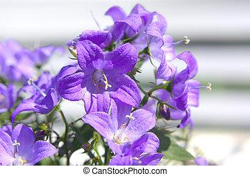 bellflower, Campanula portenschlagiana - Campanula ...