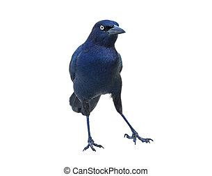 Belligerent Blackbird - Blackbird in belligerent pose ...