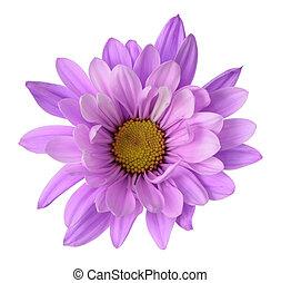 bellis, blomst