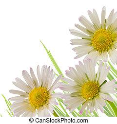 bellis, blomst, blomstret konstruktion, forår sæson