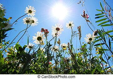 bellis, blomst, ind, sommer, hos, blå himmel