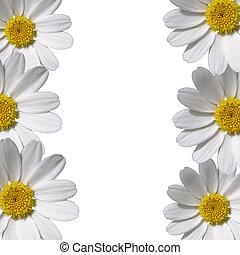 bellis, blomster, arealet, grænse, kopi