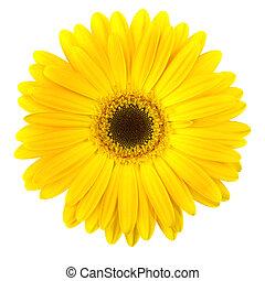 bellis, isoleret, gul blomstr, hvid
