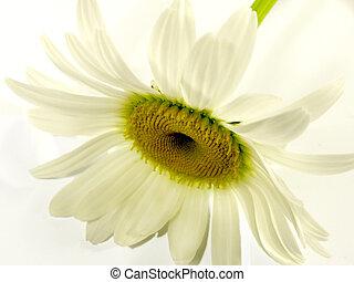 bellis, på hvide