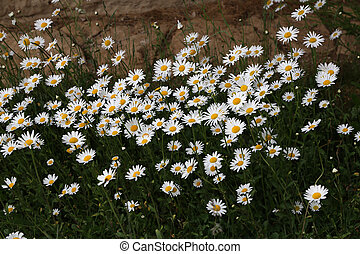 A group of white daisies in the meadow