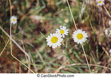 Bellis perennis is a common European species of daisy, of the family Asteraceae
