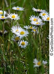 Bellis perennis on a meadow