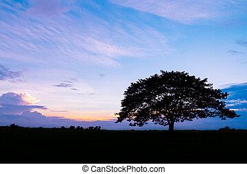 bello, albero, silhouette, tramonto