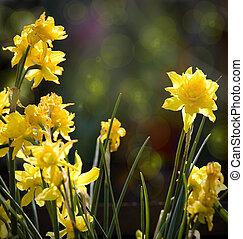 bello, arte, primavera, fondo., fiori selvaggi, nartsizy