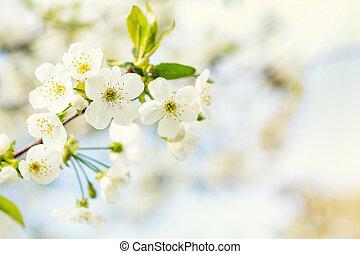 bello, azzurramento, arte, primavera, scena astratta, sfocato, ciliegia, day., fondo., flowers., field., bianco, orchard., natura, poco profondo, soleggiato, flare., fondo, blossom., albero, profondità, sole