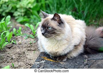 bello, balinese, gatto, in, il, estate, giardino