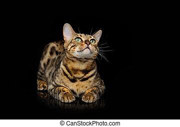 bello, bengala, gatto