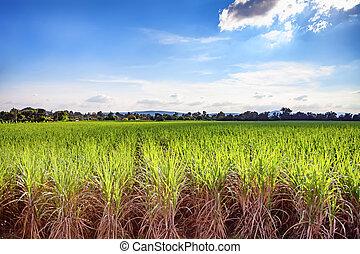bello, blu, canna, luce, colpo., lussureggiante, fuoco, lungo, zucchero, campo, verde, dovuto, crescente, cielo, clouds., morbido, esposizione