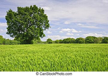 bello, blu, vivido, albero, immagine, quercia, campo, singolo, fondo, crescente, agricolo, granaglie, cielo
