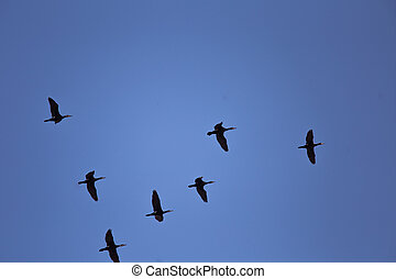 bello, blu, volare, cielo, fondo, cormorants