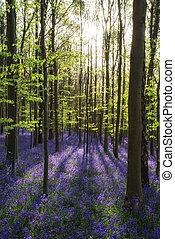 bello, bluebell, primavera, mattina, foresta, raggi, sole, throu