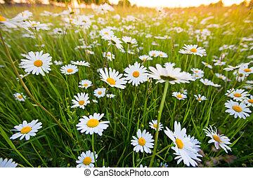 bello, camomilla, prato, scena natura, flowers., azzurramento, chamomilles.