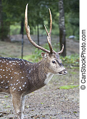 bello, carino, foto, cervo, isolato, foresta, selvatico