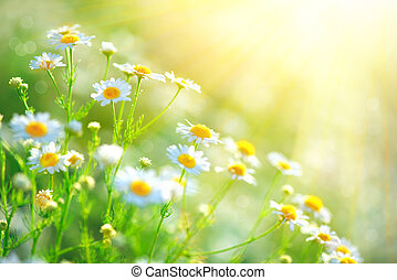 bello, chamomilles, camomilla, border., medico, scena natura, campo, azzurramento, fiori