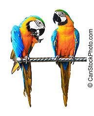 bello, coccolare, pappagallo