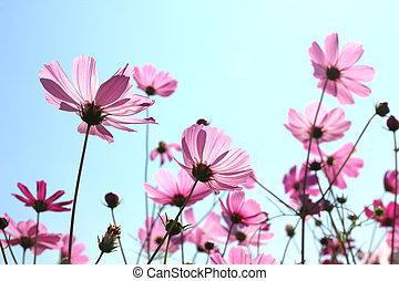 bello, cosmo, fiori, azzurramento, in, cielo