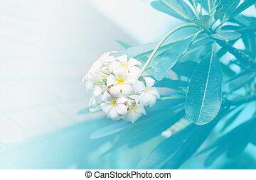 bello, esotico, frangipani, tropicale, fondo, fiori bianchi
