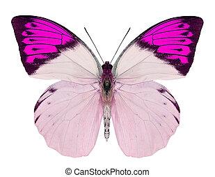 bello, farfalla, bianco, isolato