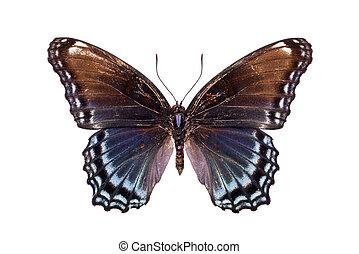 bello, farfalla, colorito, marrone, leggero blu, ali