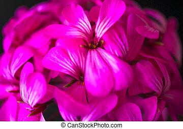 bello, fata, sognante, magia, rosa, fiori viola, su, sbiadito, priorità bassa blurry
