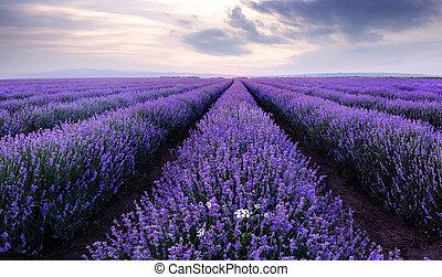 bello, field., immagine, fields., lavanda