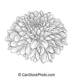 bello, fiore, isolato, fondo., nero, monocromatico, dalia,...