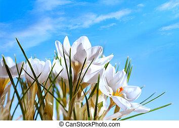 bello, fiori primaverili, su, cielo blu, fondo