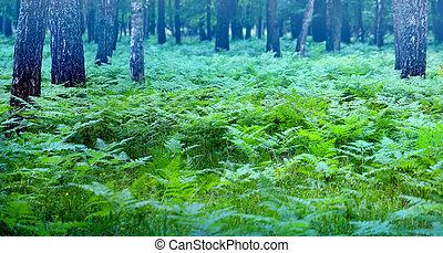 bello, foto, foresta, betulle, felci