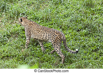 bello, foto, isolato, foresta, selvatico, ghepardo
