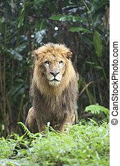 bello, foto, isolato, leone, foresta, selvatico