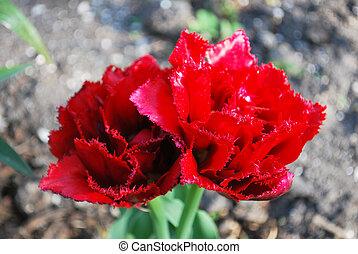 bello, frangiato, giardino, primavera, due, tulipano, rosso