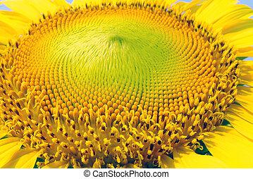 bello, giallo, girasole