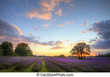 bello, immagine, di, tramortire, tramonto, con, atmosferico, nubi, e, cielo, sopra, vibrante, maturo, lavanda, campi, in, campagna inglese, paesaggio