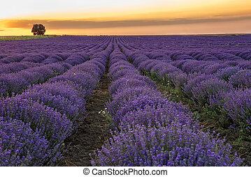 bello, lavanda, /, campo, tramonto, paesaggio, azzurramento, alba